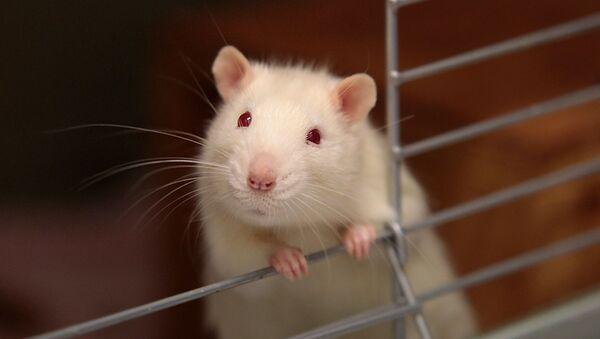 Un ratón - Sputnik Mundo