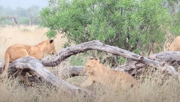 Cachorros de león juegan al subibaja en Sudáfrica - Sputnik Mundo