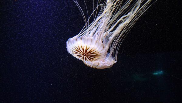 Una medusa (imagen referencial) - Sputnik Mundo