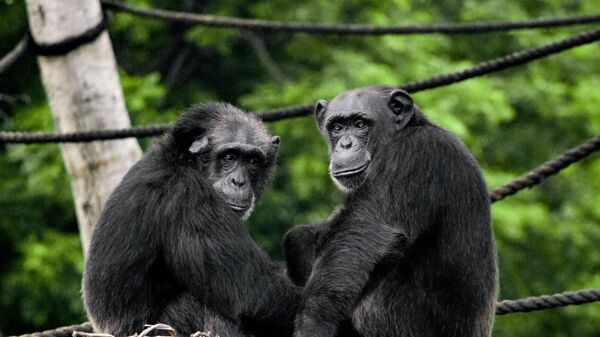 Dos chimpancés (imagen referencial) - Sputnik Mundo