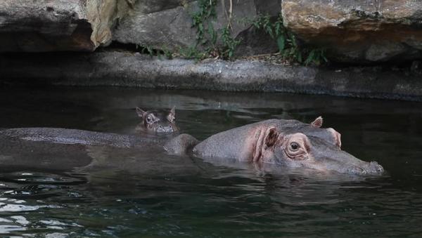 La bebé hipopótamo Gloria junto a su madre - Sputnik Mundo