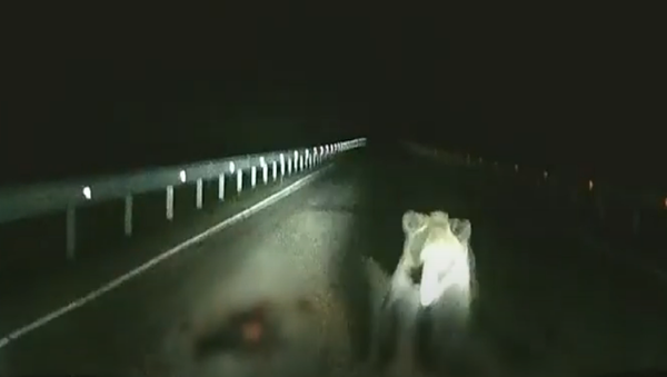 Un oso se abalanza sobre un vehículo en mitad de la noche - Sputnik Mundo