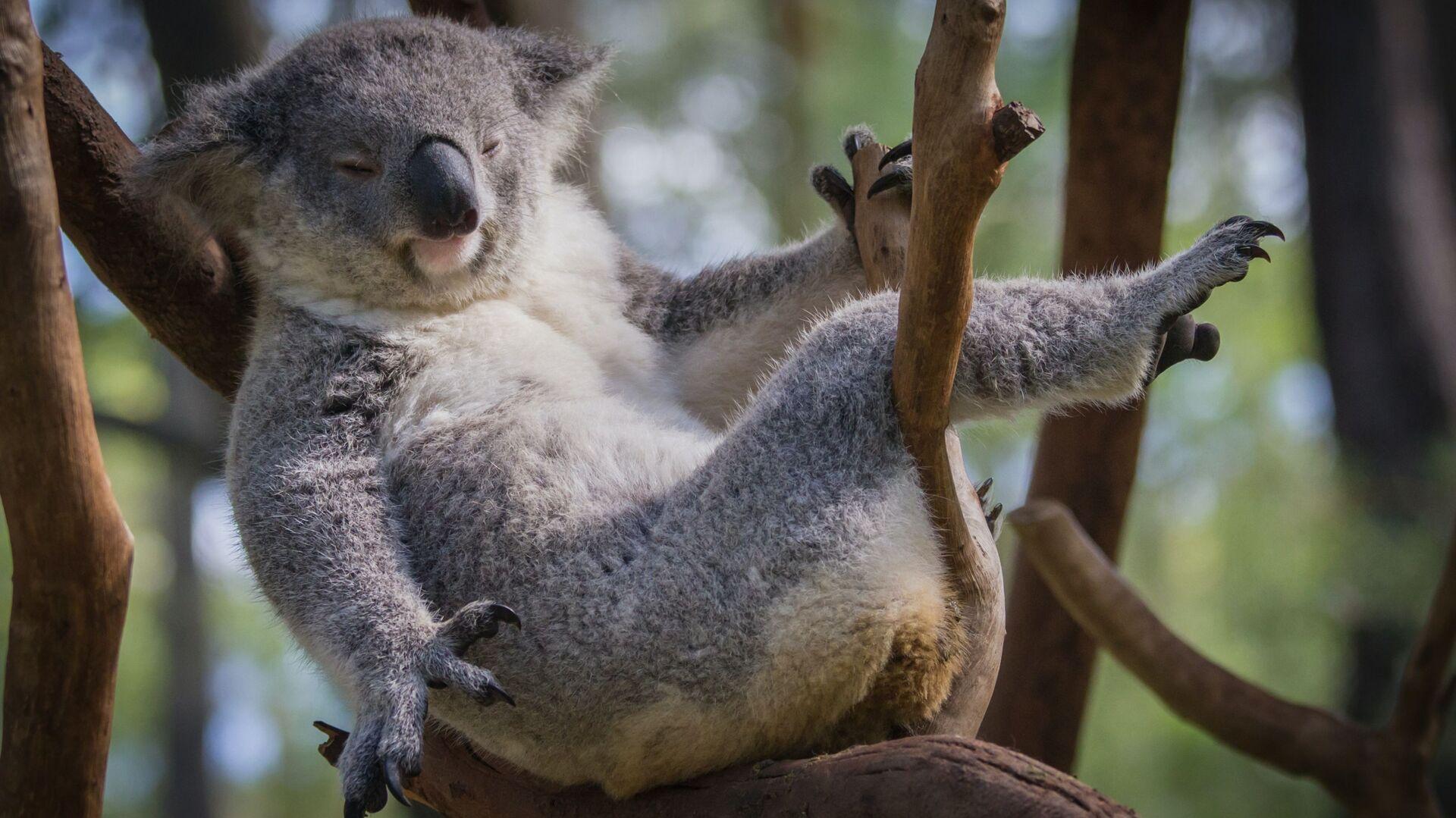 Los koalas pueden desaparecer - Sputnik Mundo, 1920, 23.09.2021