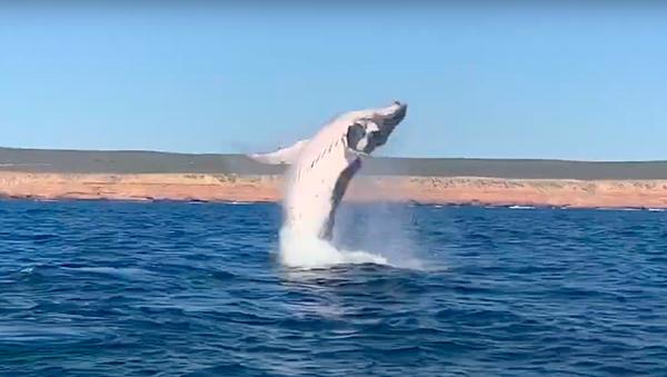 Una ballena jorobada salta del agua - Sputnik Mundo