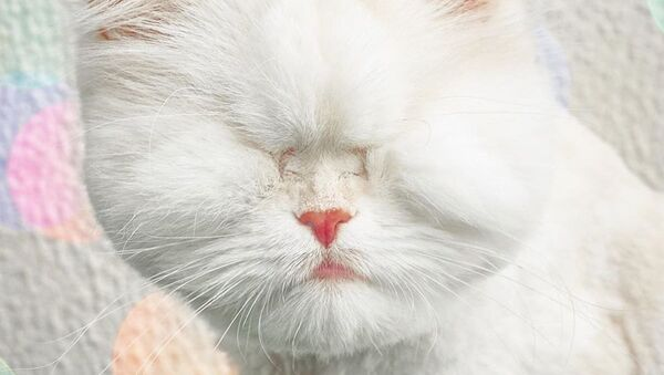 Moet, una gatita ciega, estrella de Instagram - Sputnik Mundo