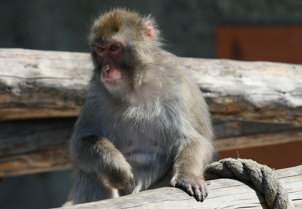El macaco japonés o macaco de cara roja (Macaca fuscata) - Sputnik Mundo