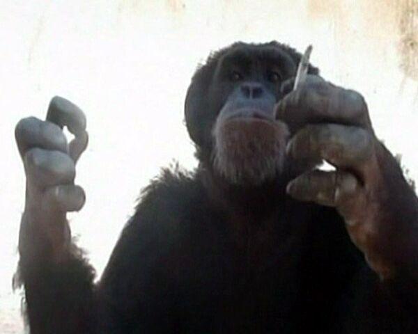 Chimpancé fumador de Líbano será rehabilitado en Brasil - Sputnik Mundo