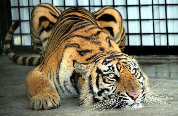 Aprueban un gasto de casi US$331 millones para preservar a los tigres en 13 países - Sputnik Mundo