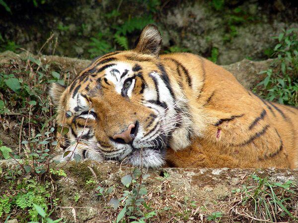 Sociedad para la conservación de la naturaleza dona US$5 millones para preservación de tigres en Asia - Sputnik Mundo