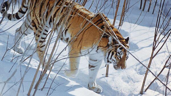 Tigre de Amur - Sputnik Mundo