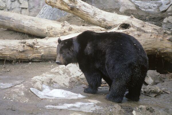 Boers osos - Sputnik Mundo