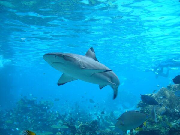 Científicos suponen que los tiburones son daltónicos - Sputnik Mundo