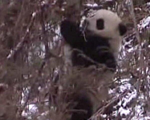Empleados de Reserva Nacional Wolong en China se disfrazan de pandas para ayudar a osa y su cachorro - Sputnik Mundo