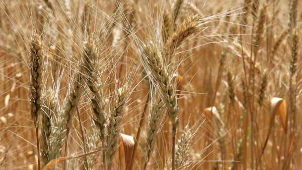 Rusia tiene potencial para exportar hasta 25 millones de toneladas de grano en 2011-2012 - Sputnik Mundo
