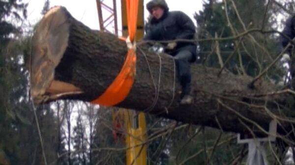 Bajo lluvia y canciones populares derriban árbol de Año Nuevo  para el Kremlin - Sputnik Mundo