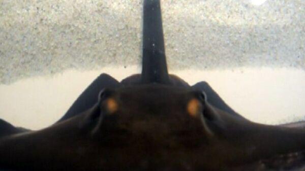 Visitantes de acuario estadounidense acarician a torpedos - Sputnik Mundo