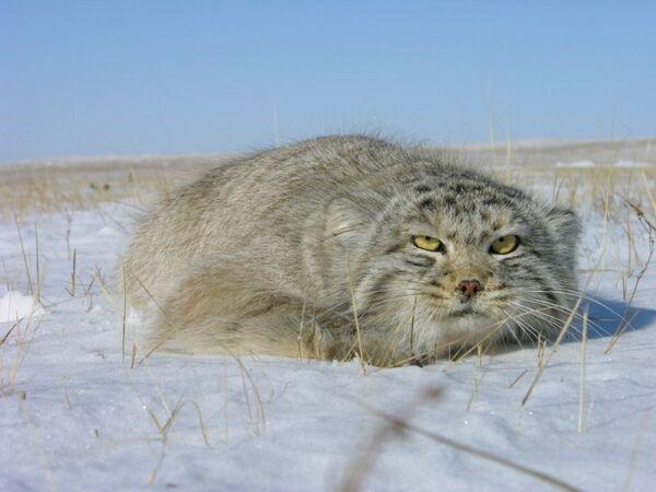 """Científicos rusos estudian al gato montés """"manul"""" incluido en el Libro Rojo - Sputnik Mundo"""