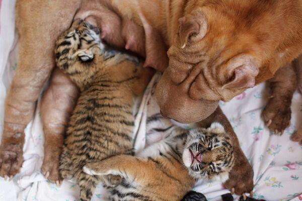 Perra Shar Pei  alimenta a dos tigres recién nacidos en zoológico de Rusia - Sputnik Mundo