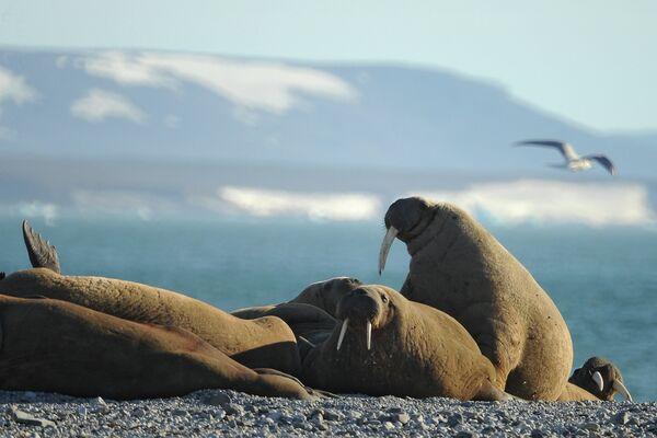 El derretimiento del hielo ártico, causa de la muerte masiva de morsas en Chukotka - Sputnik Mundo