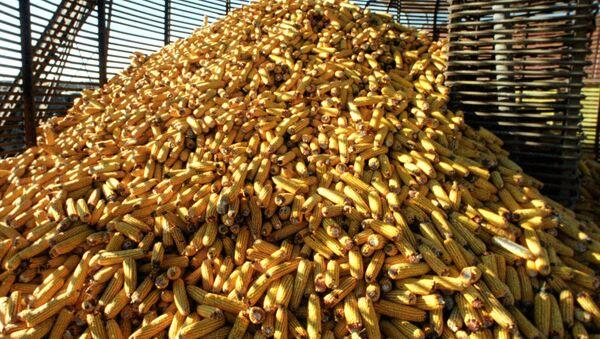 Cosecha de maíz - Sputnik Mundo