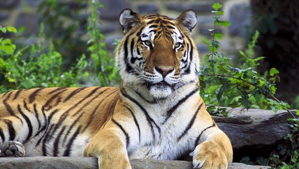 Un tigre de Amur emigra de Rusia a China - Sputnik Mundo